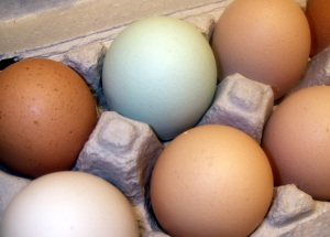colored eggs rhode island red chicken