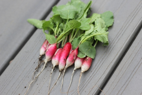 fresh french breakfast radishes